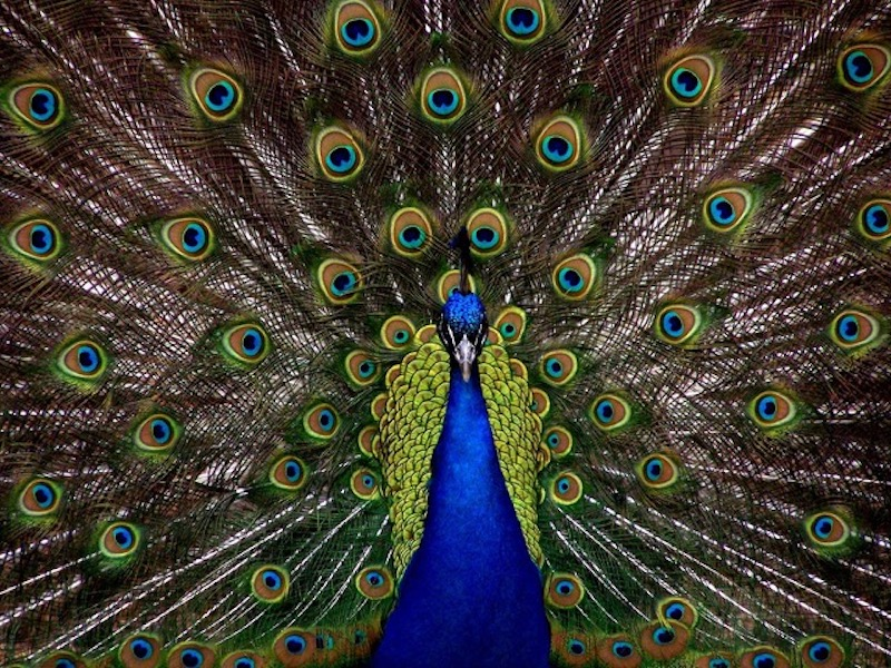Peacock_ no attribution required - Vancouver Weekly